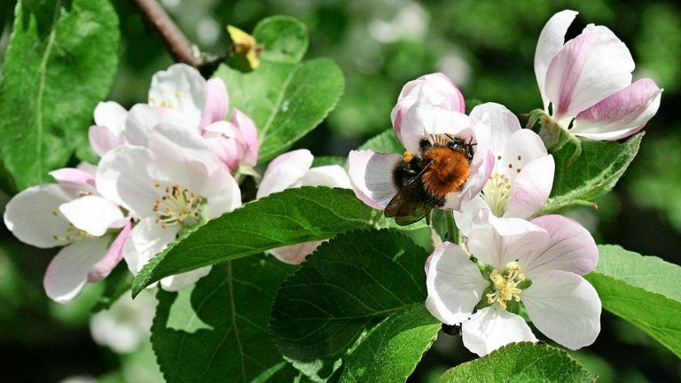 The garden vocabulary is not of interest to the apple tree flower-absorbing bumblebee.