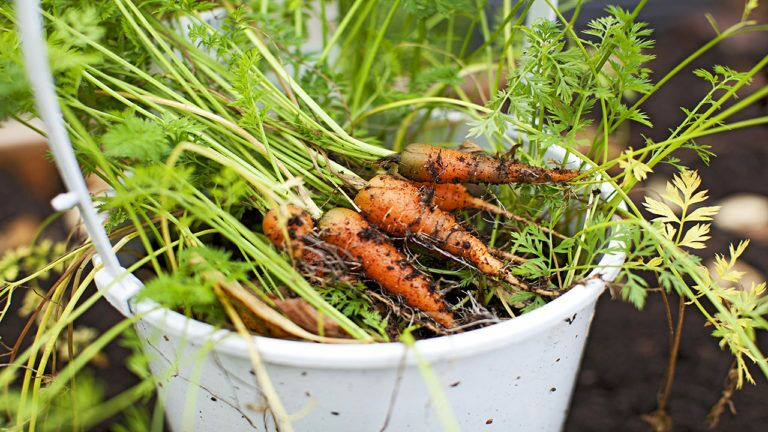 Carrot storage over the winter
