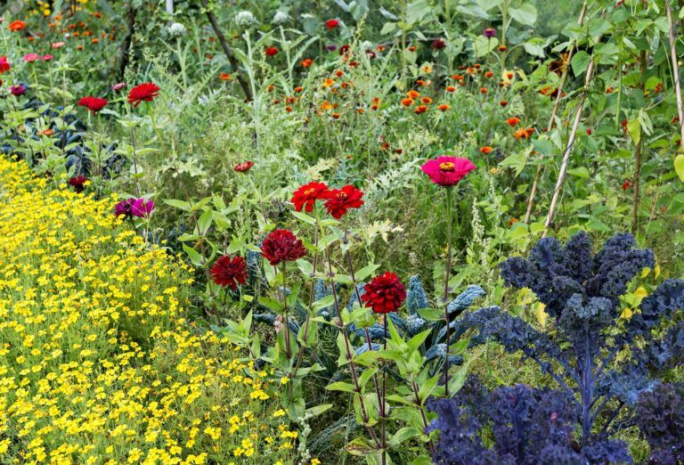 The kitchen garden is beautiful and delicious.  Sow useful plants among the annual flowers.  The flowers of the dwarf velvet flower are edible and have a slightly bitter, citrus-like taste.  The flowers delight the pollinators, but they are also said to repel some of the pests.