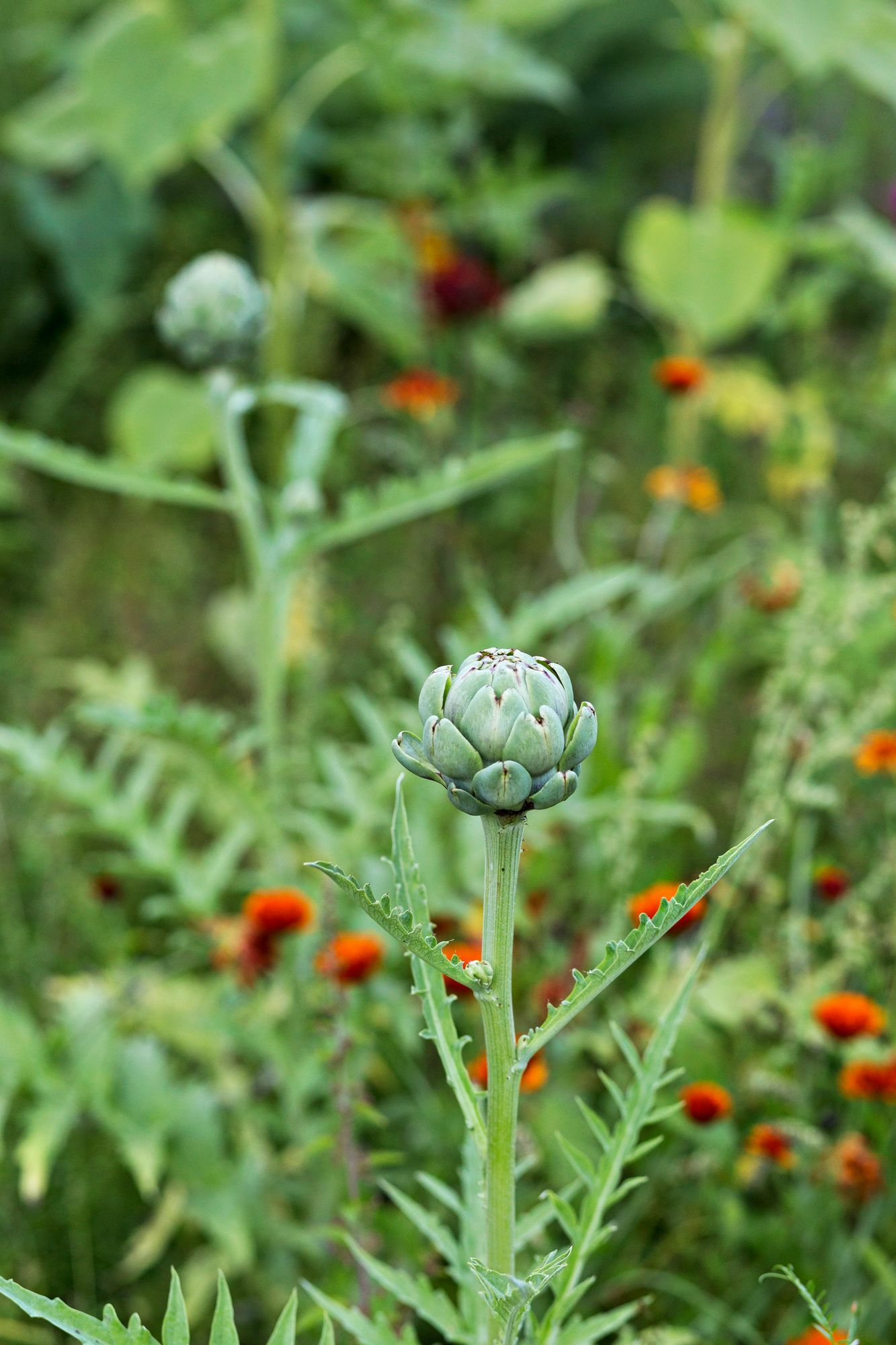 Artichoke does not always have time for us to ripen.  However, it is a decorative addition to the kitchen garden.