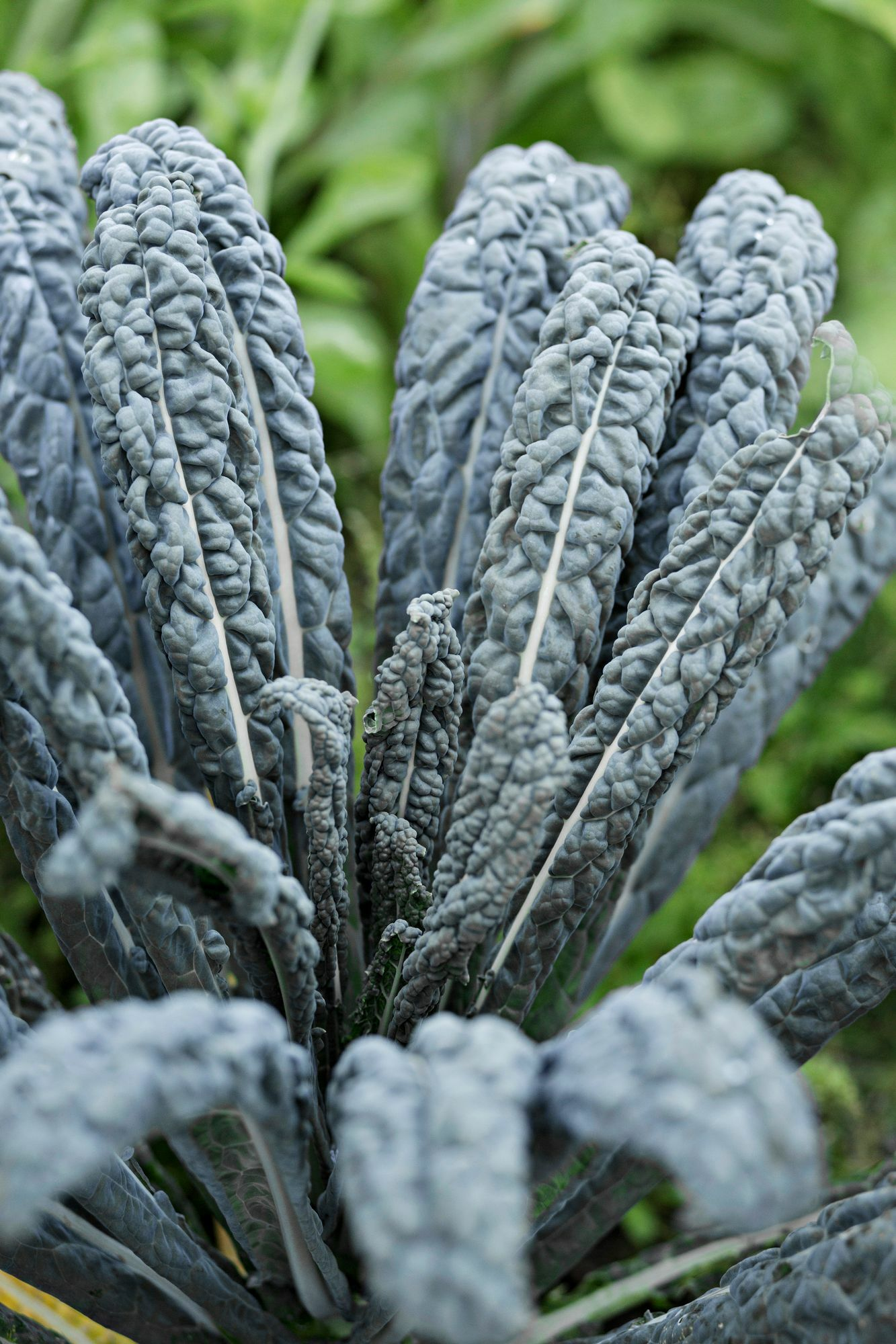 The kitchen garden is filled with colors!  The dark-leaved leaf cabbage variety 'Nero di Toscana', called palm cabbage and black cabbage, is beautiful and delicious