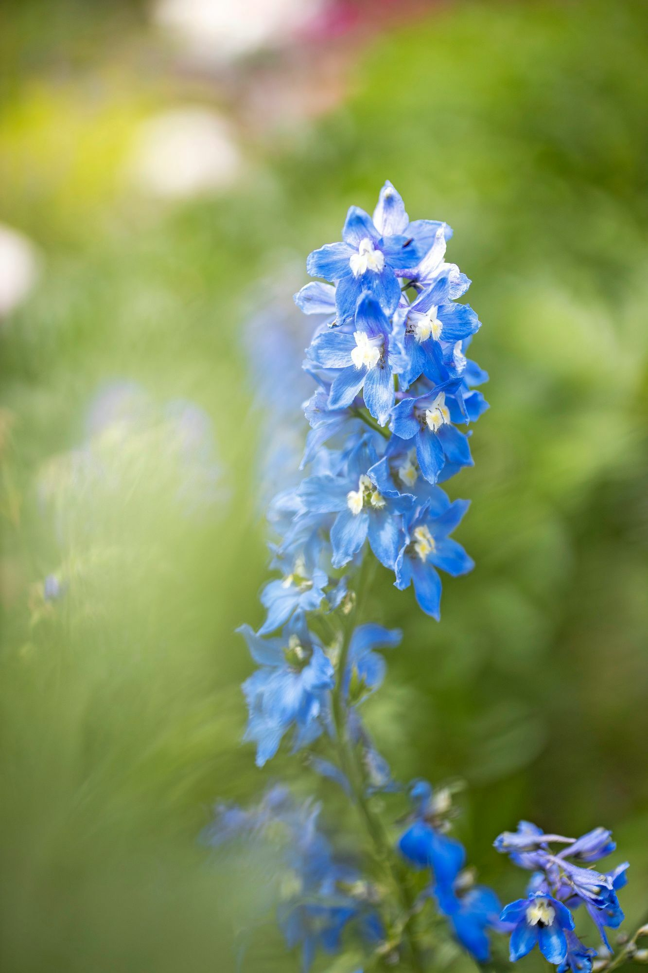 The sky-blue flowers of the roosters blend beautifully into the gentle color scheme of the cottage garden style.