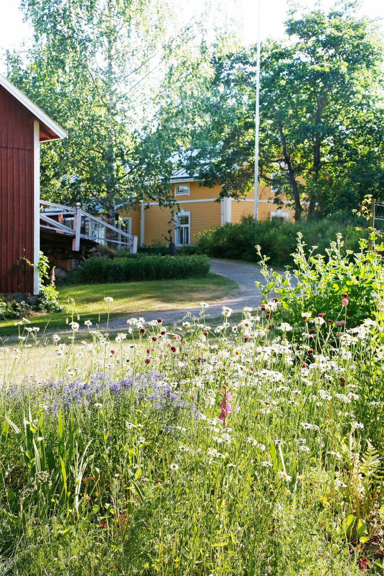 The meadow contributes to the mowing of the lawn and fits beautifully into the yard of the farmhouse.  It is advisable to cut the hay before they seed.  Otherwise, they will easily take over the area from the slimmer meadow flowers.