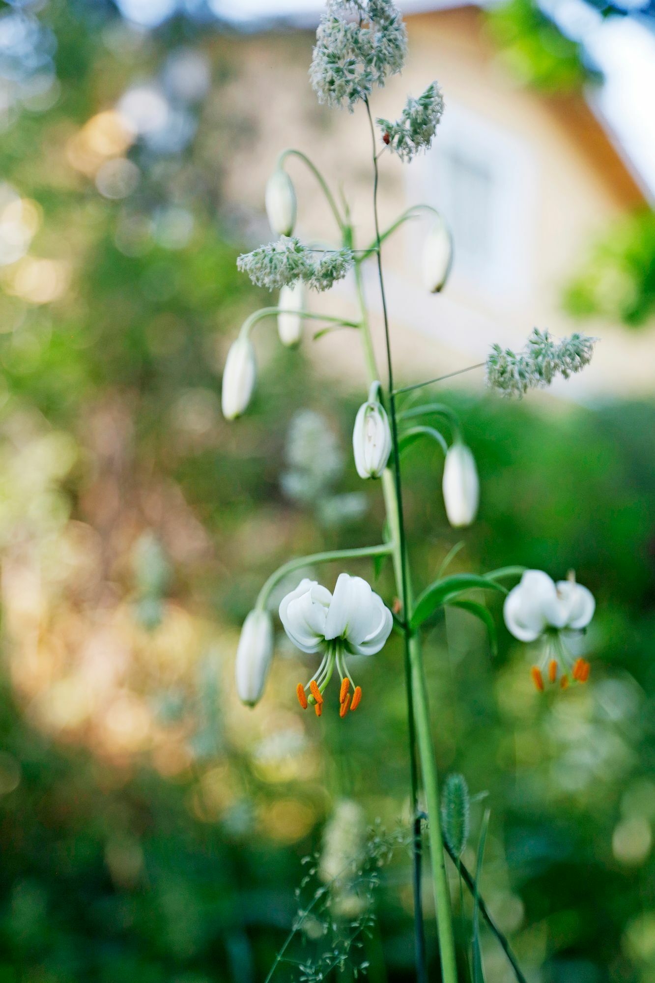 Shade lilies spread by themselves, and tall flower stalks rise from here to here in the garden.