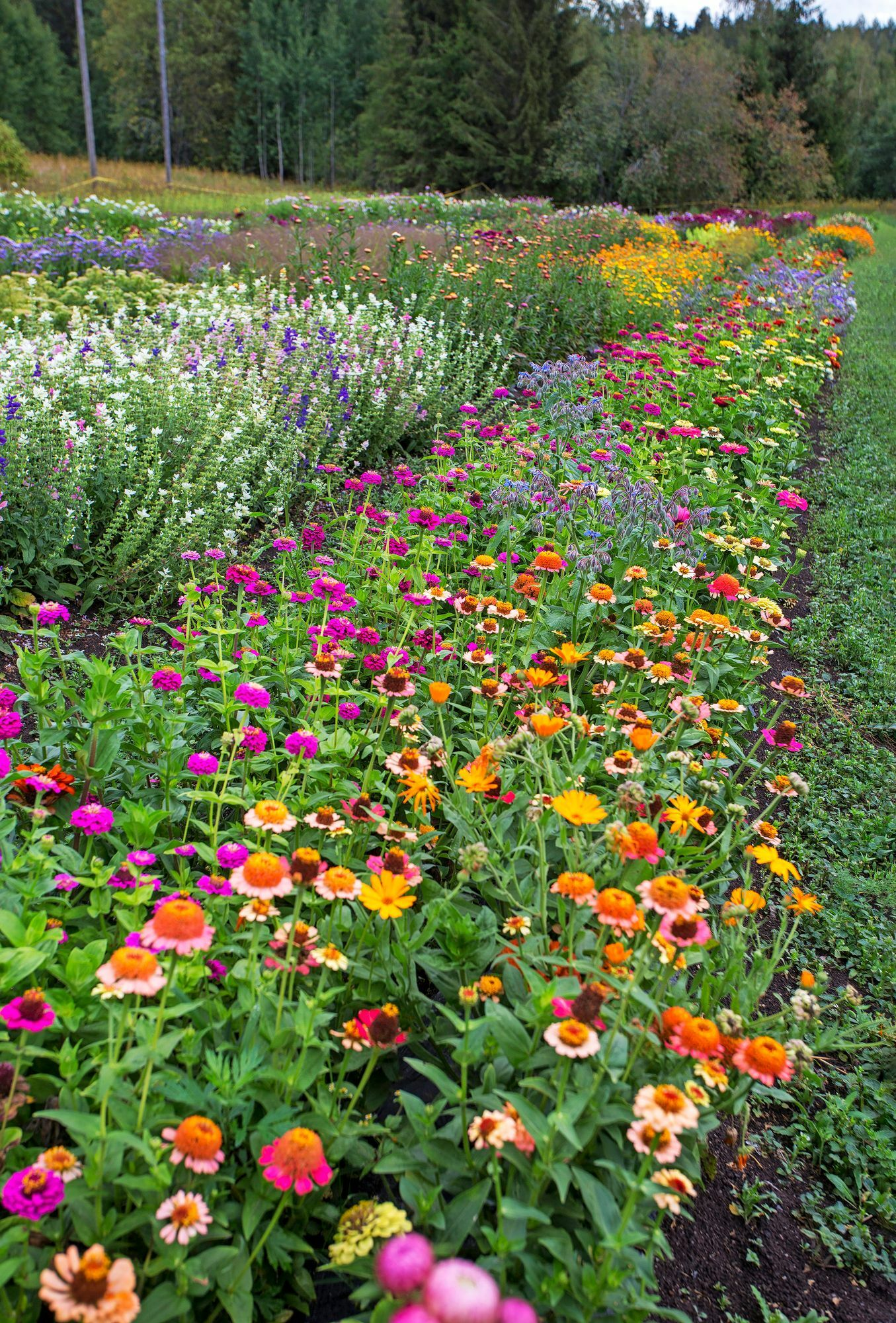 The flower field is at its best in late summer.  In the foreground bloom Tsinnia 'Zinderella Peach' and buttercups.