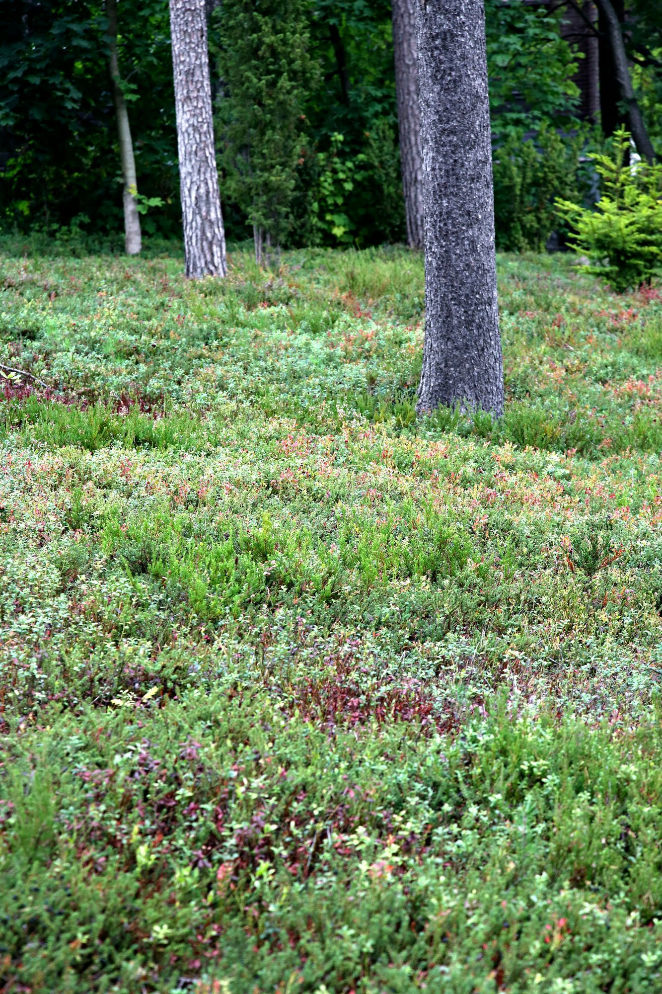 An easy-care cottage yard where you can also pick blueberries for a pie!  The municipality offers this.