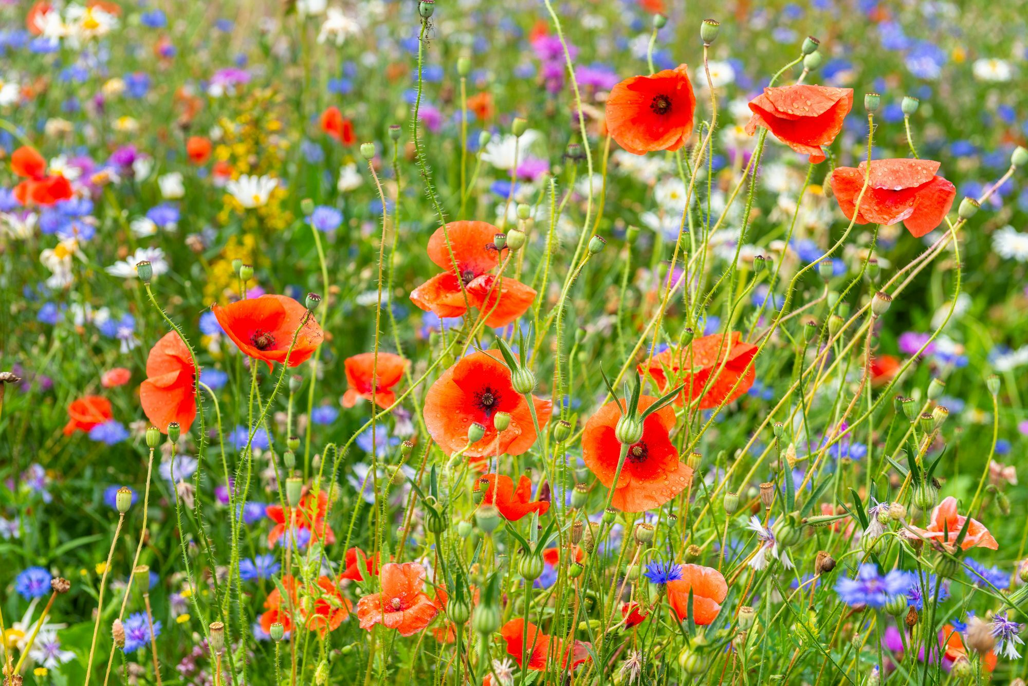 Annual Poppies are fast-growing and easy flowers that can be picked from the garden as well as bouquets.