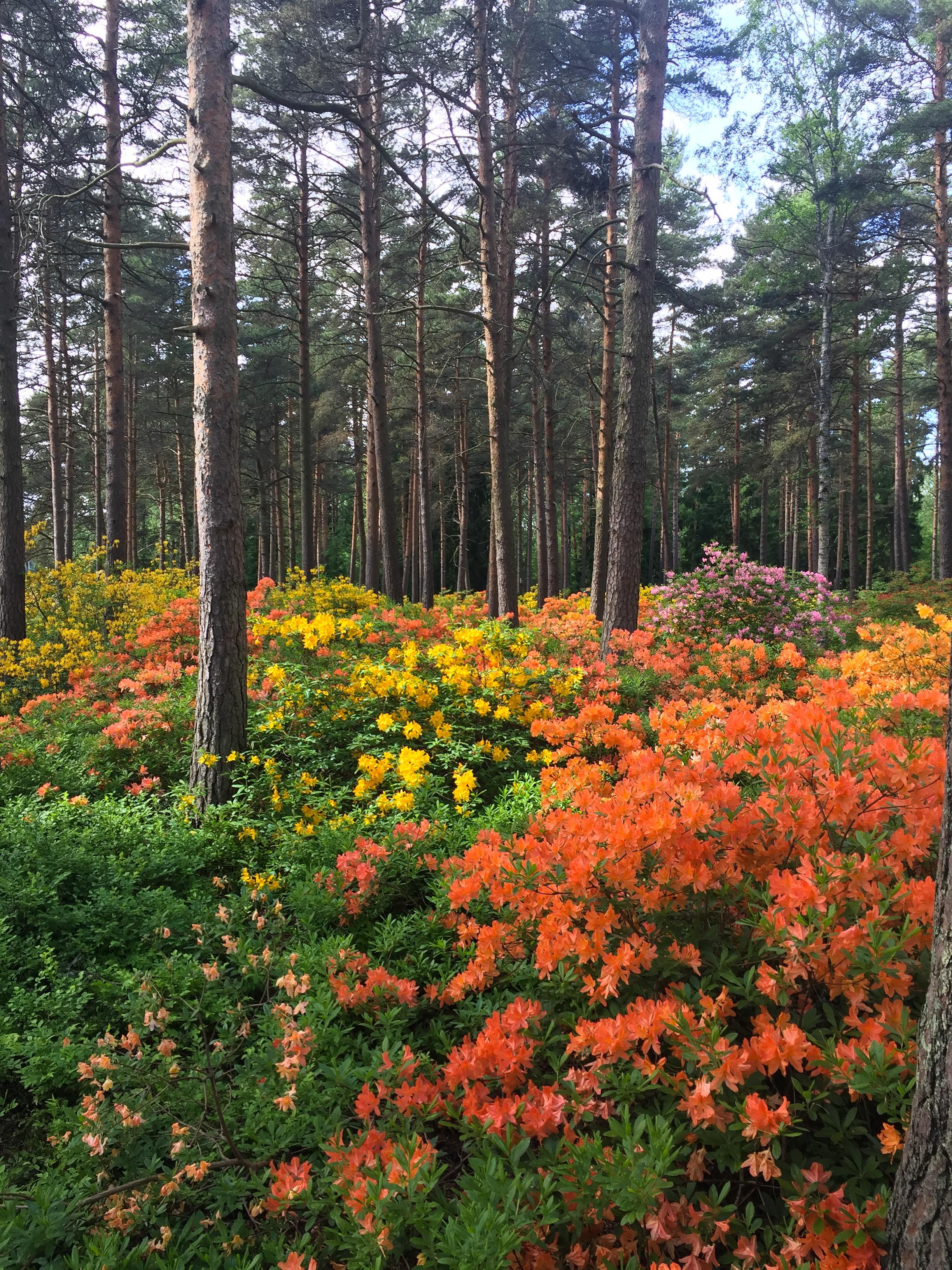 kuvia alppiruusupuistosta Haagassa