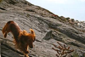 Koira juoksee kalliolla iloisena.