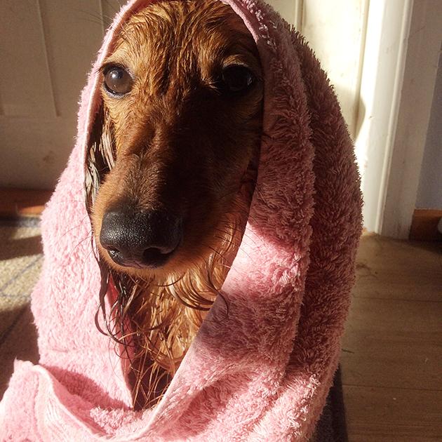 koirakopla, Hulda, kuutti, kotiliesi