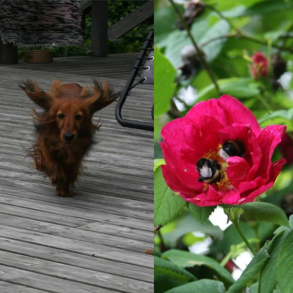 Koira juoksee innoissaan. Kaksi mehiläistä ruusussa.