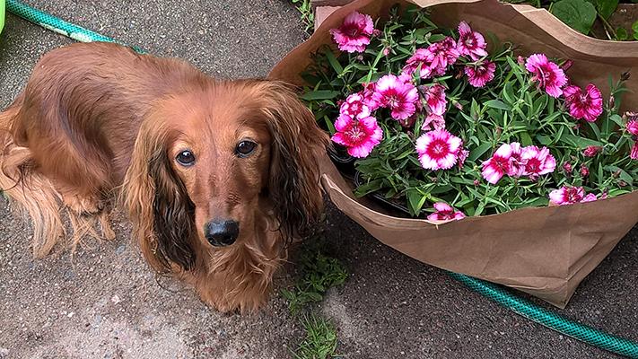 Kukkia_Hulda_kotiliesi