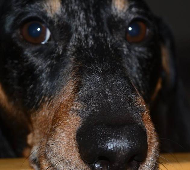 Koirakopla, kotiliesi, Hulda, Topie, mäyräkoirapalstan uutisankkuri
