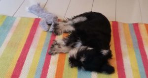 Koiranpentu nukahti