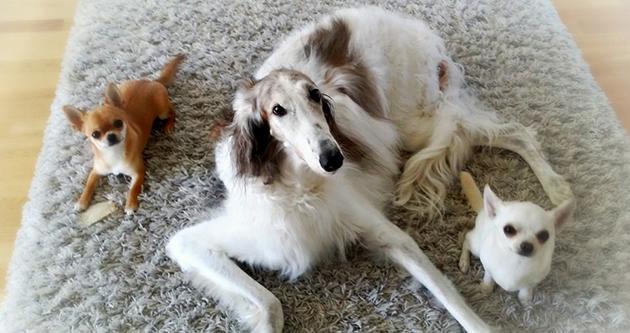 Koirat lepäilevät matolla.