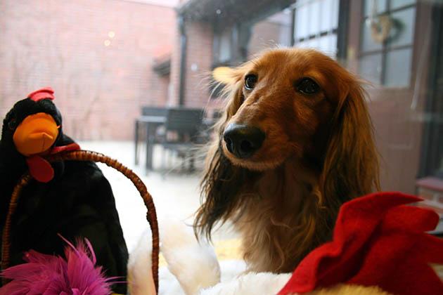 Koirakoplan Hulda ihmettelee kanoja ja suklaakoria.