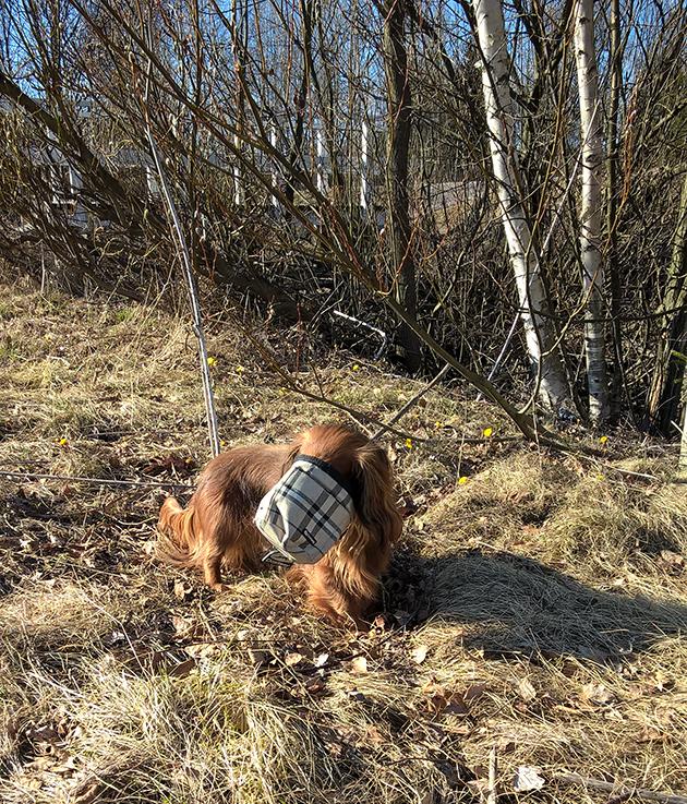 Koirakoplan mäyräkoira Hulda etsii herkkuja pussista.