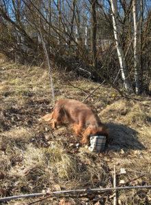 Leskenlehtiä ja Koirakoplan mäyräkoira Hulda pellolla.