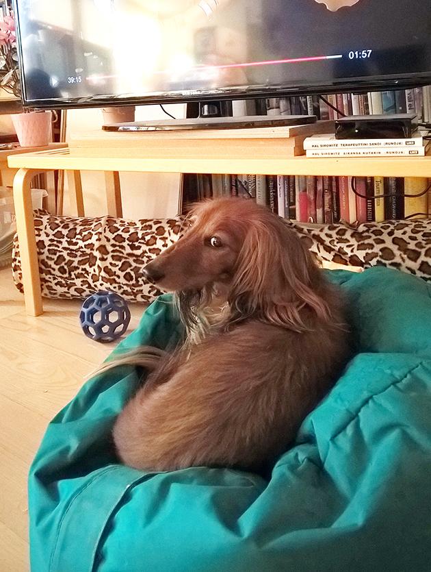 Koirakoplan Hulda-mäyräkoira television edessä odottamassa Team Rokan alkua.