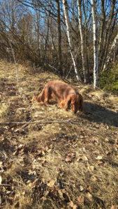 Mäyräkoira Hulda etsii kevään merkkejä.
