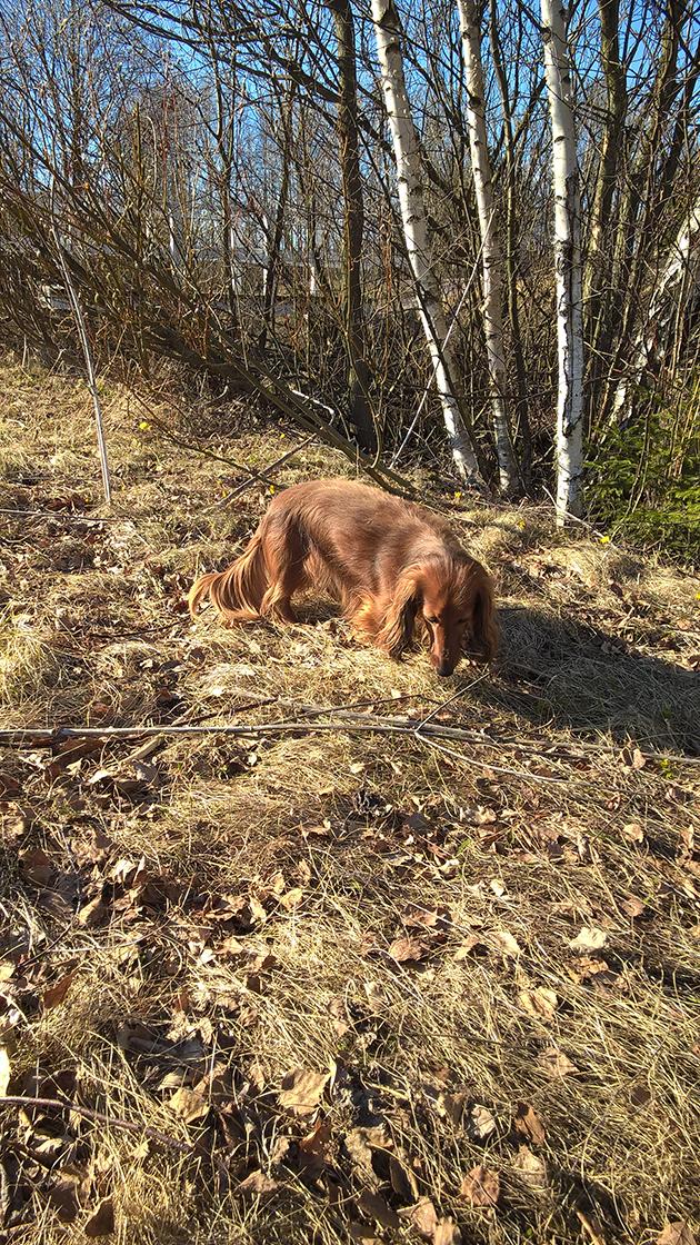 Koirakoplan Hulda löysi pellolta leskenlehtiä.