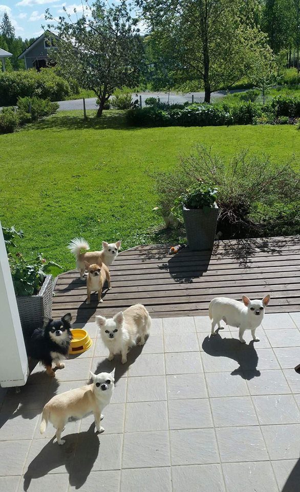 chihuahua, äitiysloma, odottajat, synnytykset lähestyvät