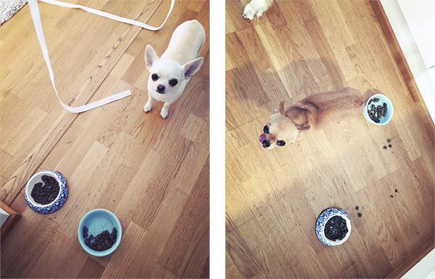 chihuahua, koirakopla, ihana erilaiset, tiineys, pahoinvointi