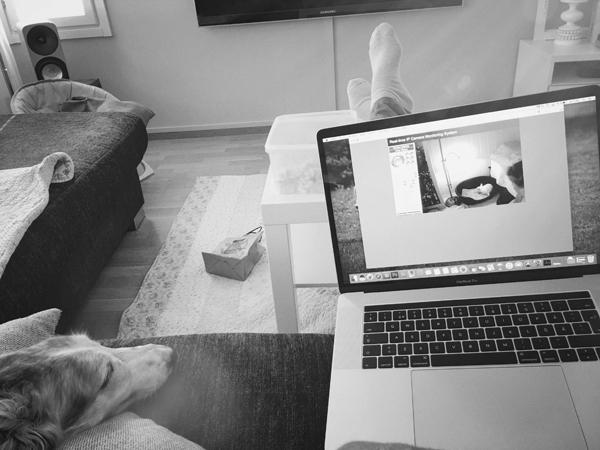 Chihuahua synnyttää, livelähtys webbikameralla.