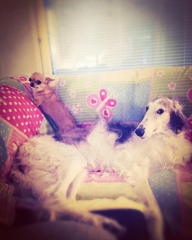 Sohvan valtijattaret, borzoi Irma ja chihuahua Liisa.