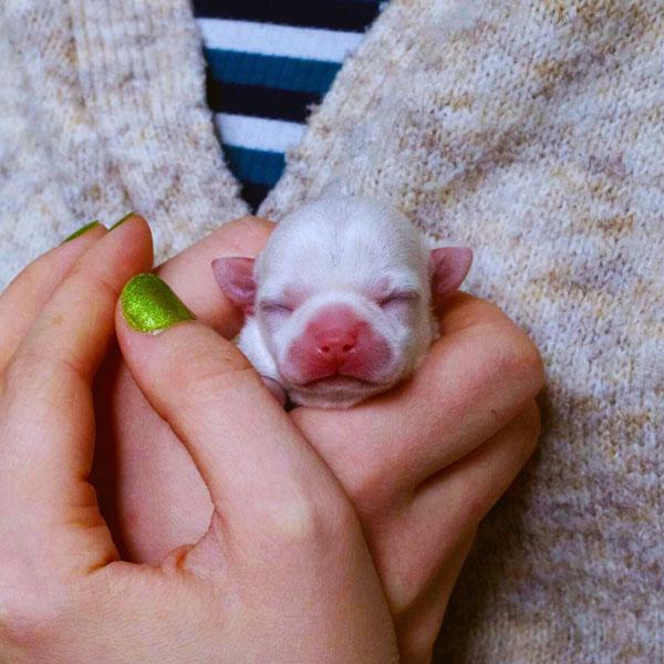 Yhden vuorokauden ikäinen chihuahuan pentu.