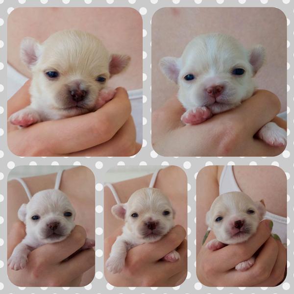 Chihuahuan pennut kaksi viikkoa.