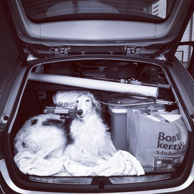 Borzoi matkustaa auton takakontissa viikonloppulomalle Perniöön.