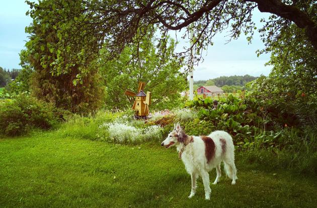 Irma borzoi mummolan kauniissa maisemissa.