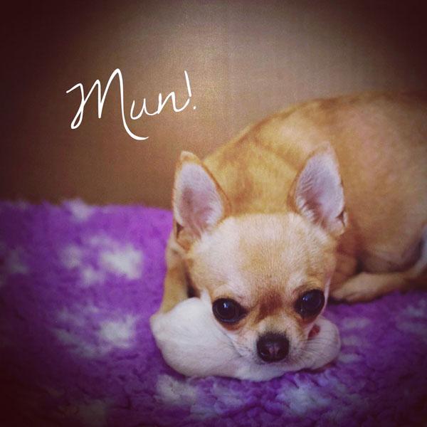 Chihuahua emo suojelee pentuaan.