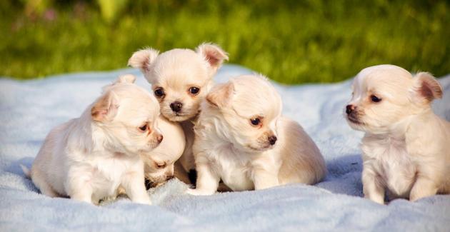 Chihuahuan viisiviikkoiset pennut.