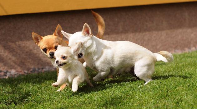 Chihuahuat juoksevat kotipihalla.