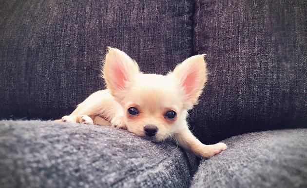 Chihuahua Laura valloitti varovaisin askelein edesmenneen Kunnigatar Irman sohvapaikan.