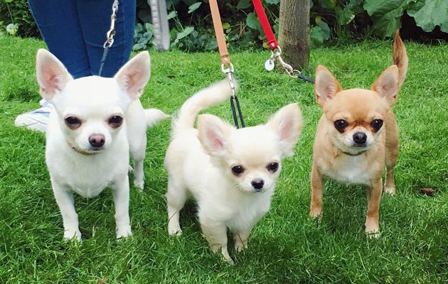 Chihuahua Eevalla, Lauralla ja Liisalla on kaikilla nimikaimoja perhepiirissä. Eikä ihme, ihania nimiä kaikki!