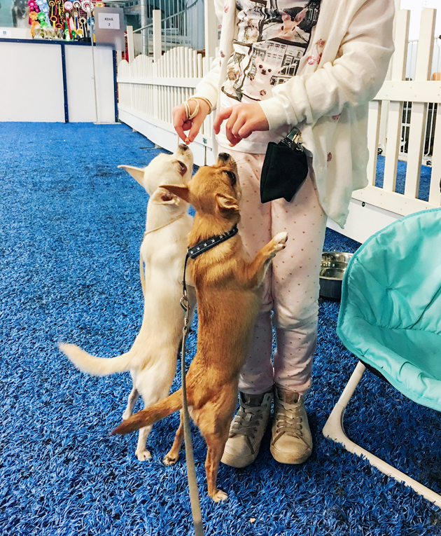 Ahneus helpottaa suunnattomasti koiran koulutusta. Kuvassa olemme näyttelytreeneissä Showhaucenterillä Tammistossa.