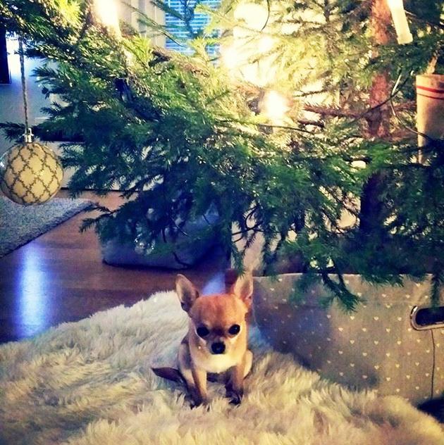 Liisa chihuahua kuusen alla ensimmäistä jouluaan viettämässä jouluna 2015.