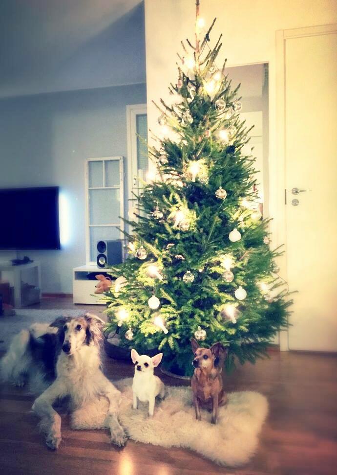 Koirat kuusen alla. Joulu 2014 ja kuvassa Irma borzoi, Eeva chihuahua ja Kerttu kääpiöpinseri.