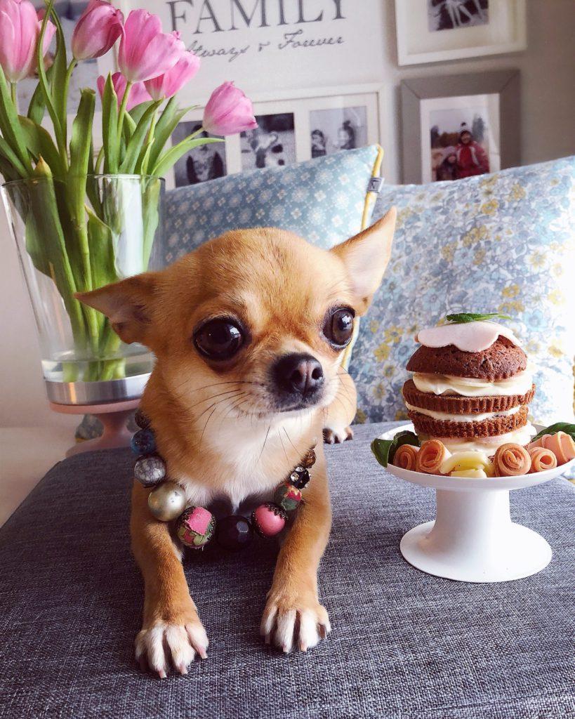 Chihuahua Liisa viettää syntymäpäiviään.