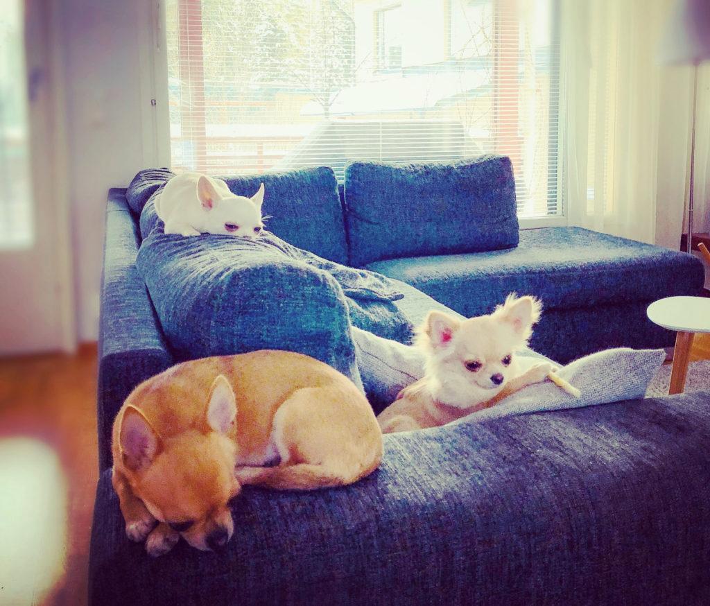 Chihuahuat lepäilevät sohvalla.