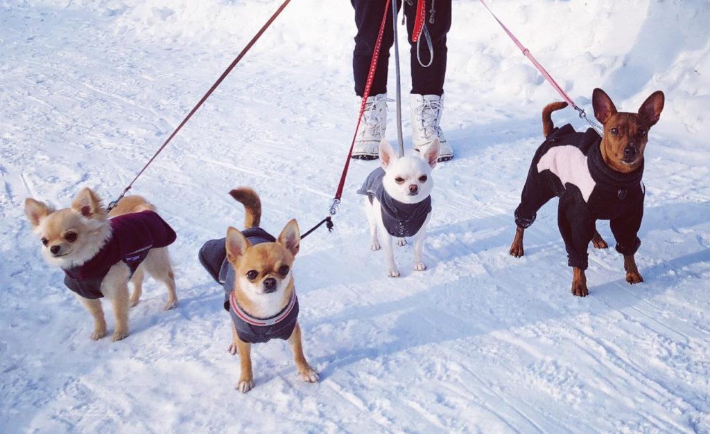Kääpiöpinseri ja chihuahuat talvisella lenkillä.