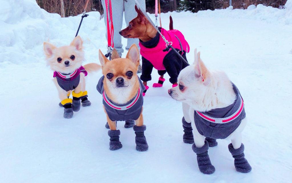 Chihuahuat ja kääpiöpinseri ulkoilemassa.