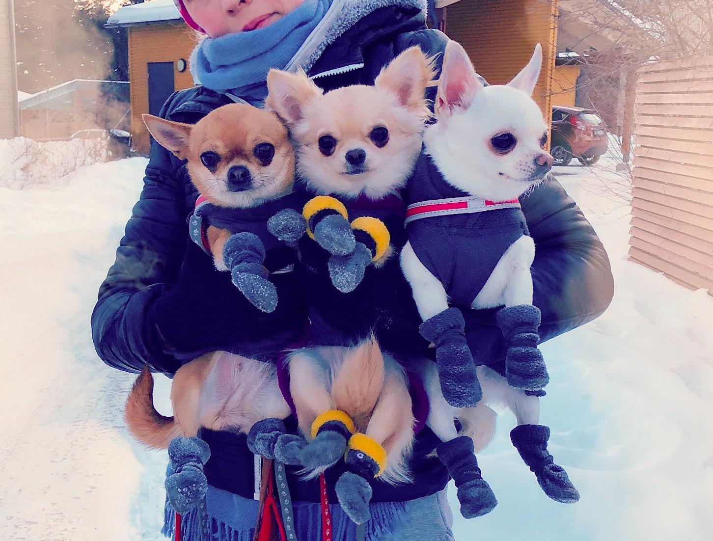 Chihuahuat sylissä.