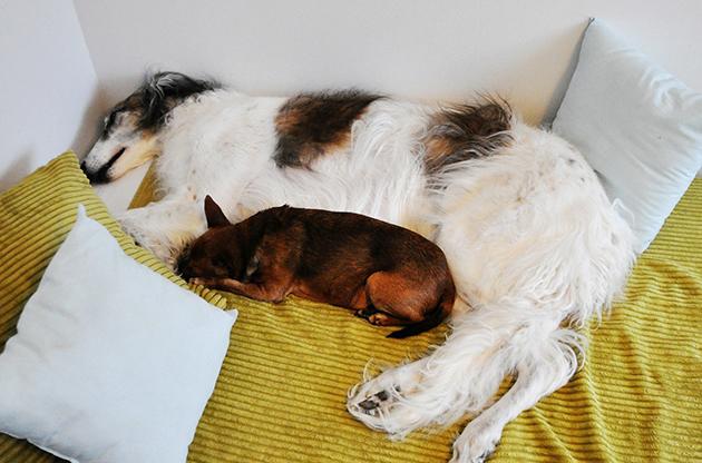 Borzoi ja kääpiöpinseri nukkumassa.