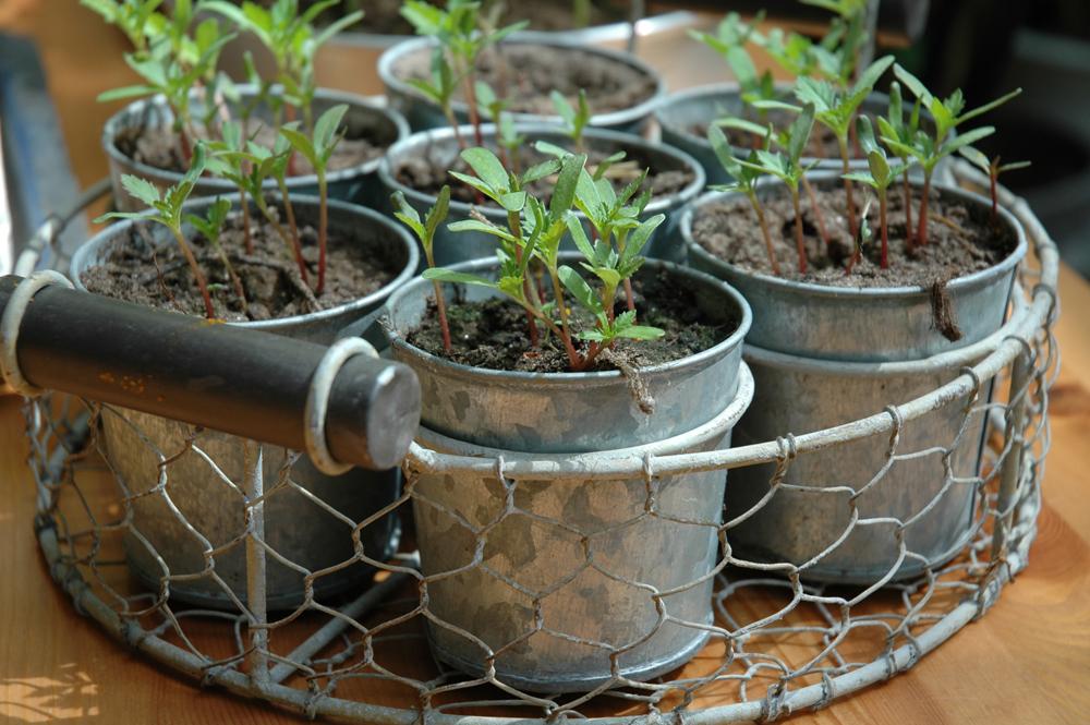 1 samettikukka taimet