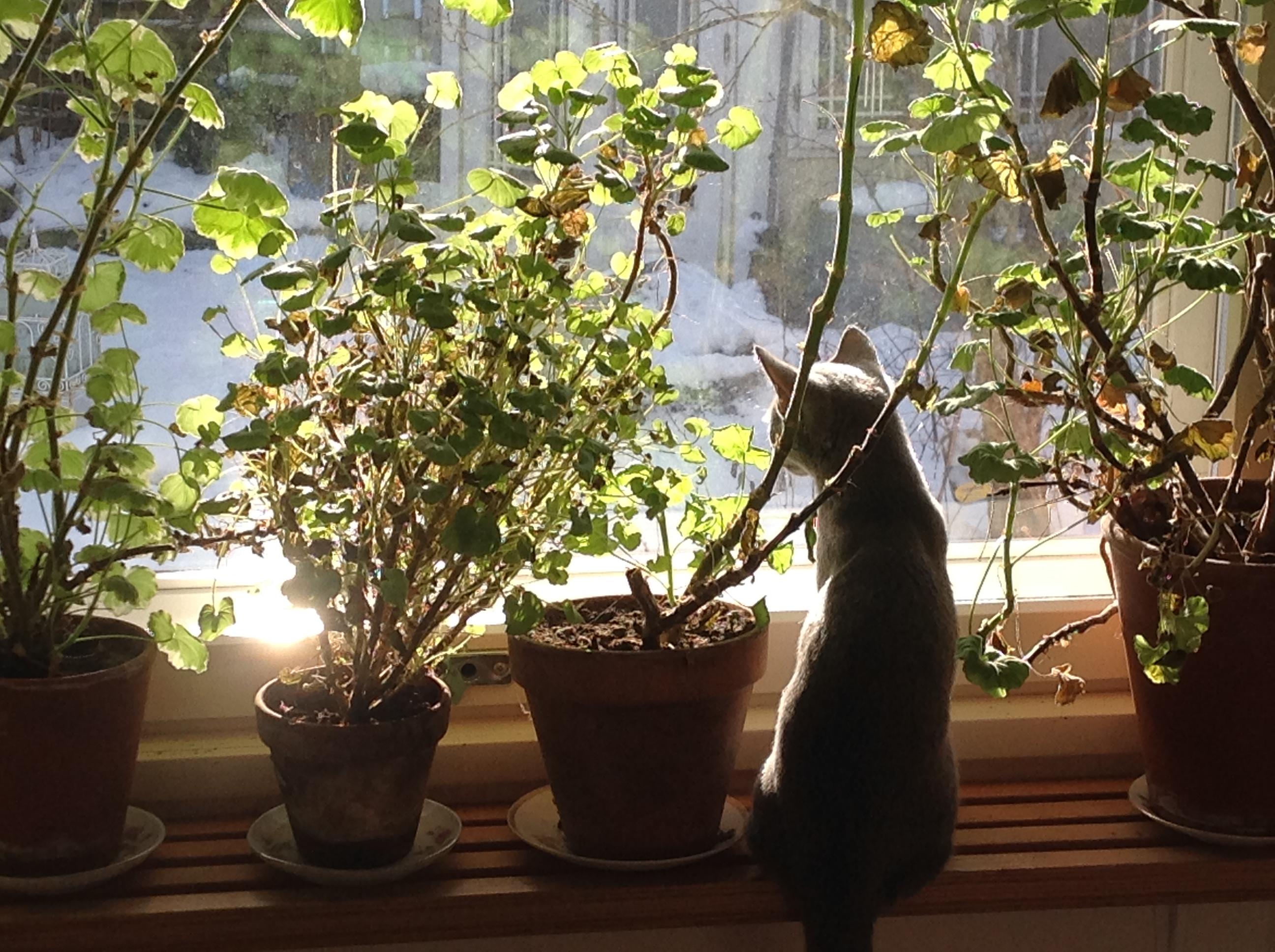 pelargoni kevät ja kissa