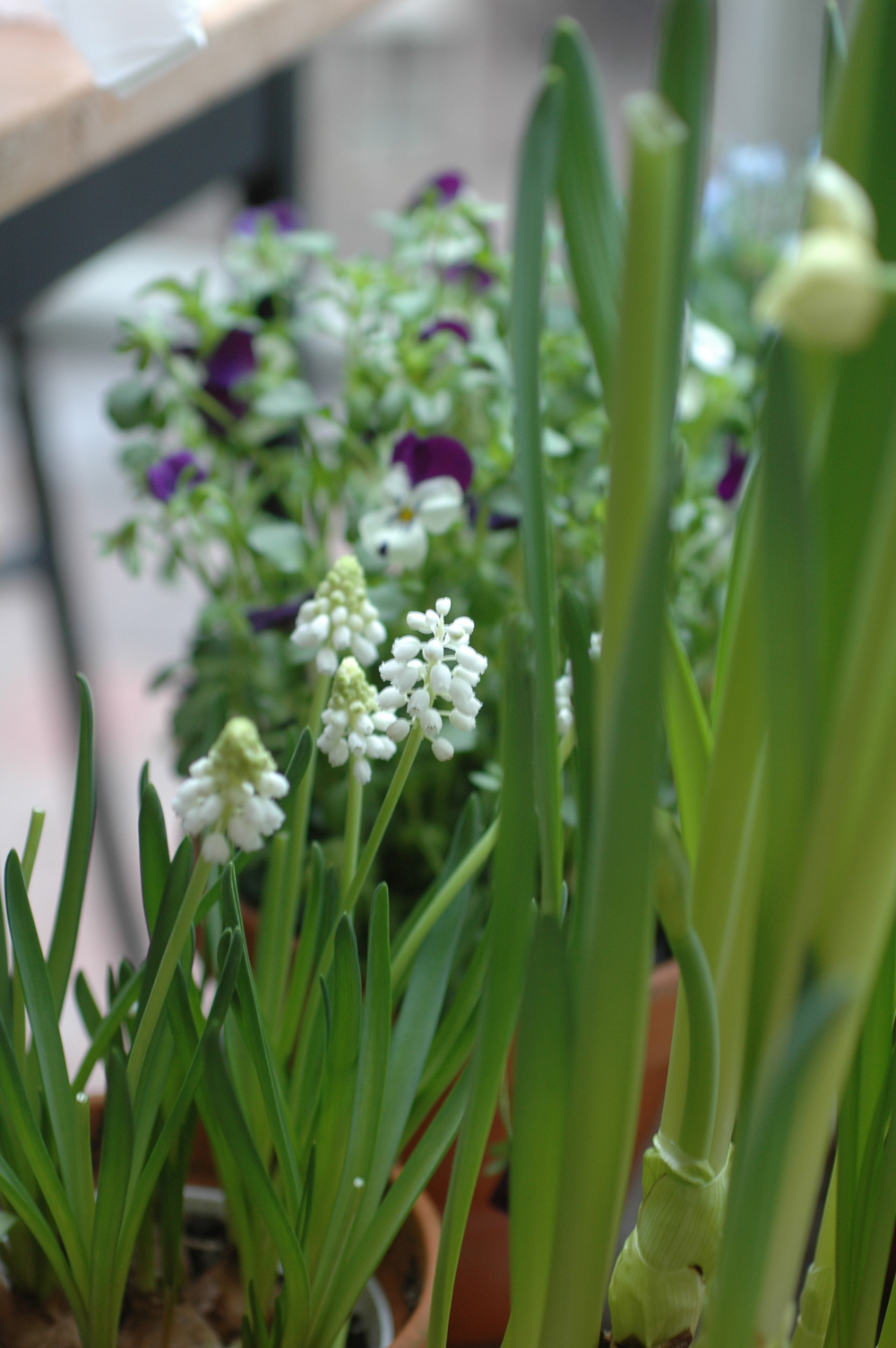 vihreät sipulikukat